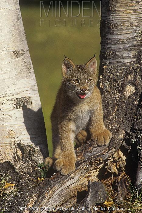 Juvenile Canadian lynx (Lynx lynx canadensis) standing at base of birch trees USA captive  -  Mary Mcdonald/ npl