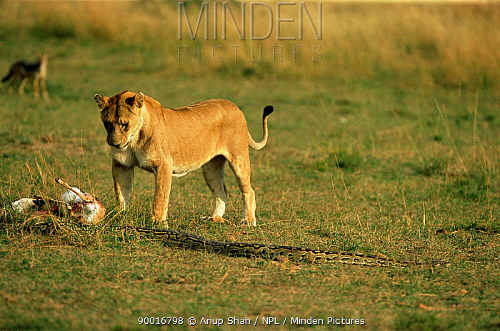 African Rock Python (Python sebae) abandonning dead Thomson gazelle, Lion approaching, Masai Mara, Kenya, sequence 6, 8  -  Anup Shah/ npl
