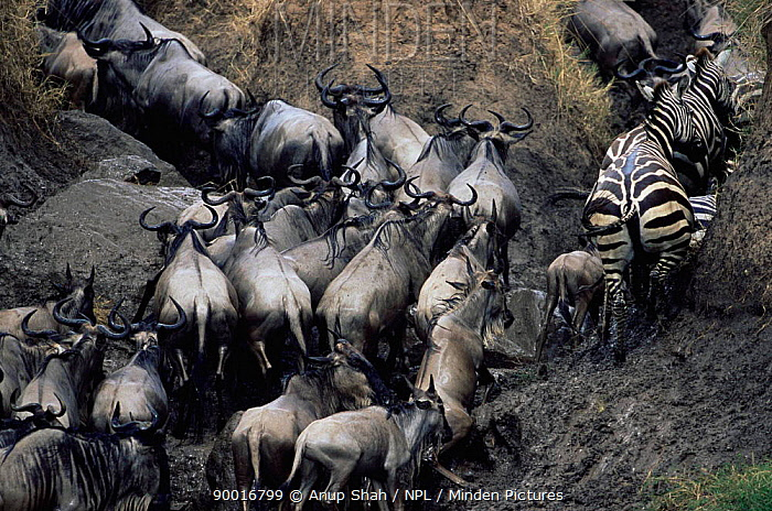 Blue Wildebeest (Connochaetes taurinus) and Common zebra (Equus burchelli) climbing bank after crossing river, Masai mara reserve, Kenya  -  Anup Shah/ npl