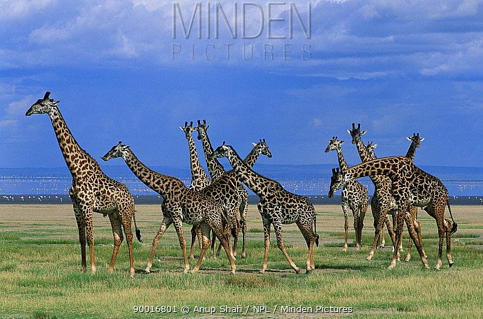 Giraffe (Giraffa camelopardalis) herd with Lake Manyara in background, Tanzania  -  Anup Shah/ npl