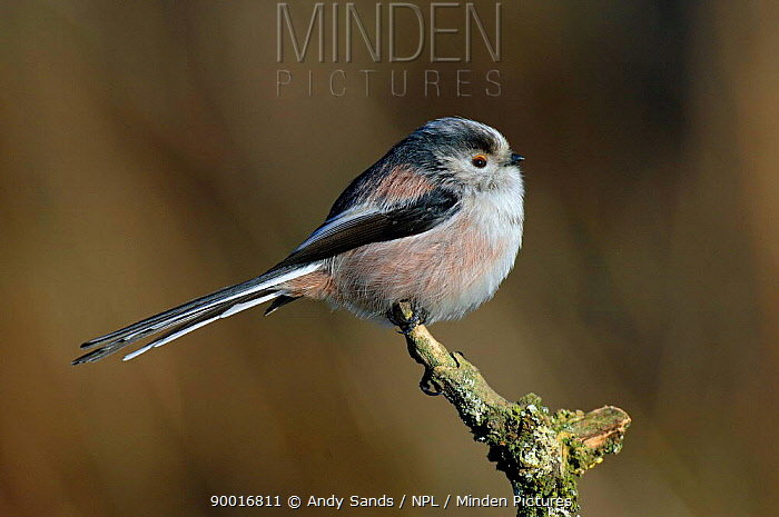Long-tailed Tit (Aegithalos caudatus) with feathers puffed out during cold winter, United Kingdom  -  Andy Sands/ npl