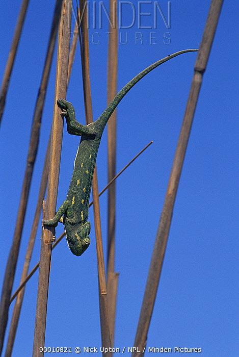 African Chameleon (Chamaeleo africanus)  -  Nick Upton/ npl