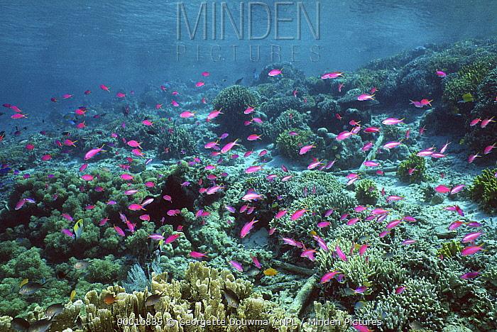Yellowstriped anthias (Pseudanthias tuka) shoal swimming over coral reef, Malaysia, Indo-Pacific  -  Georgette Douwma/ npl