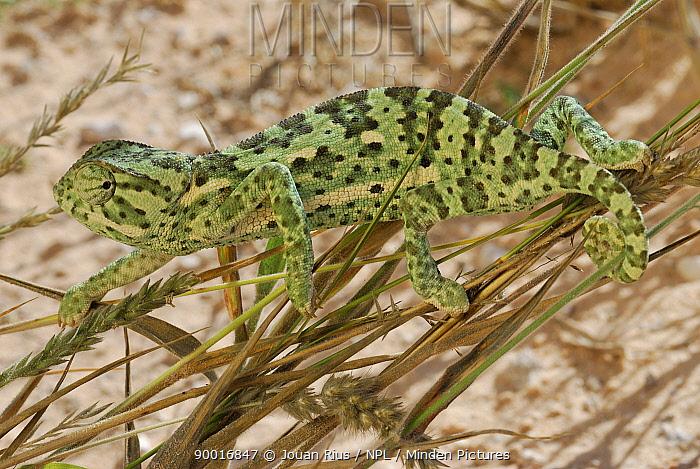 Flap-necked Chameleon (Chamaeleo dilepis) climbing on grasses, Kalahari desert, South Africa  -  Jouan & Rius/ npl
