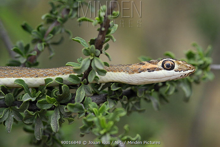 Kalahari Sand Snake (Psammophis trinisalis) on branch, Kgalagadi Transfrontier Park, Kalahari desert, South Africa  -  Jouan & Rius/ npl