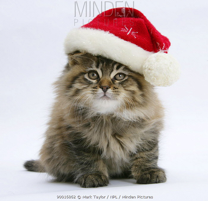 Domestic Cat (Felis catus)Maine Coon kitten, 8 weeks old, wearing a Father Christmas hat  -  Mark Taylor/ npl