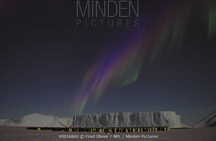 Emperor penguins (Aptenodytes forsteri) huddled together for warmth at night under sky with display of Southern lights, Aurora australis, Antarctica NOT FOR REPRODUCTION BIGGER THAN A4  -  Fred Olivier/ npl