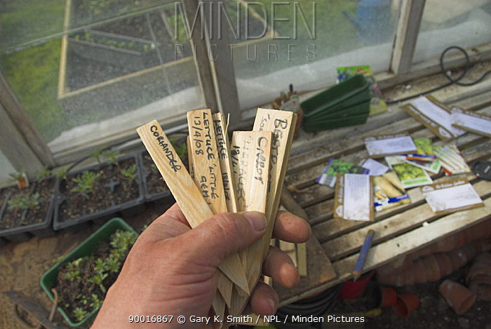 Gardener holding wooden plant labels in greenhouse  -  Gary K. Smith/ npl