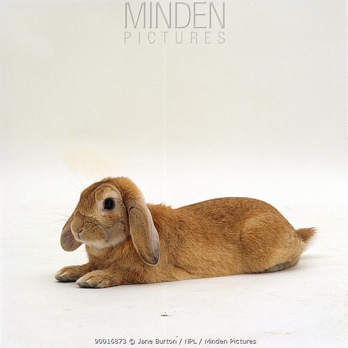 Female sandy lop-eared rabbit lying flat-out  -  Jane Burton/ npl