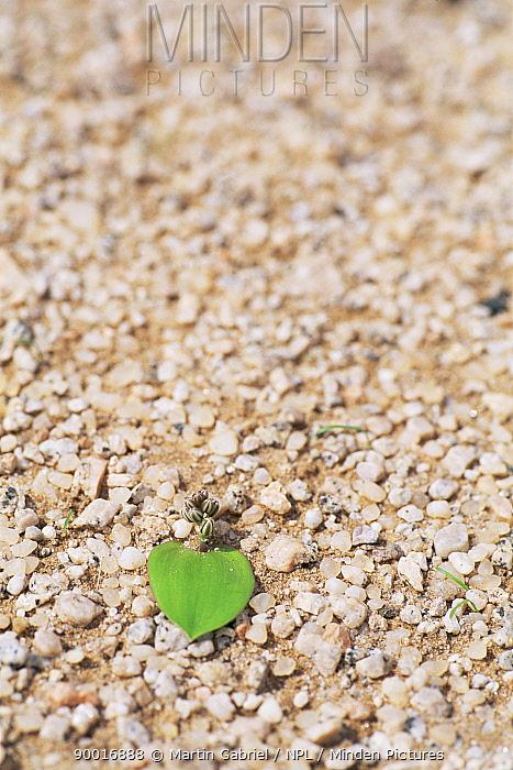 Desert lily germinating in rainy season, Namib desert, Namibia  -  Martin Gabriel/ npl