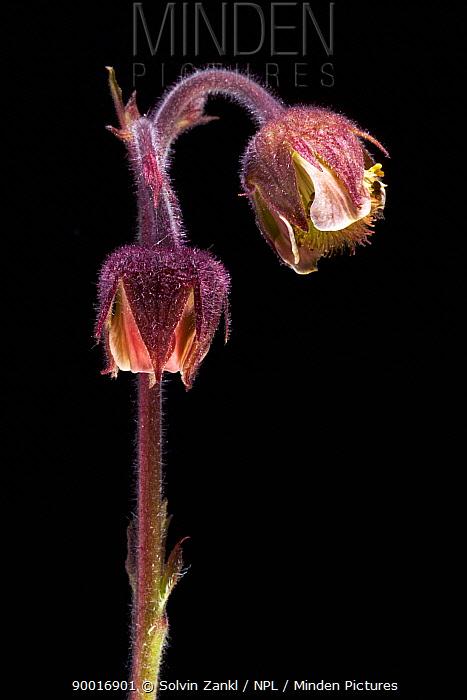 Water Aven (Geum rivale) flower, Europe  -  Solvin Zankl/ npl