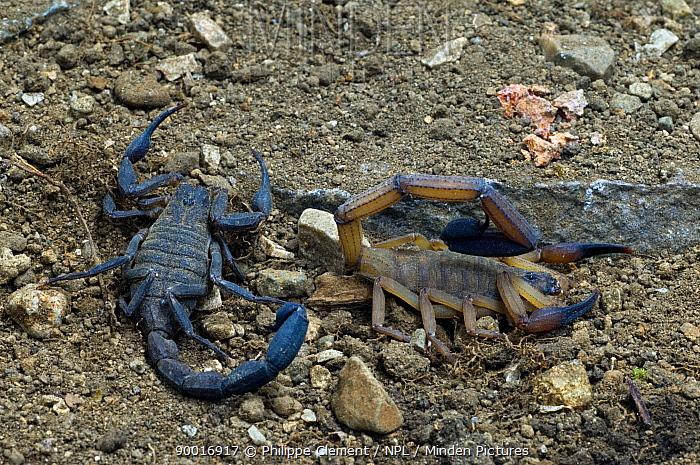 Black edged scorpion (Centruroides limbatus) male and female, Costa Rica  -  Philippe Clement/ npl
