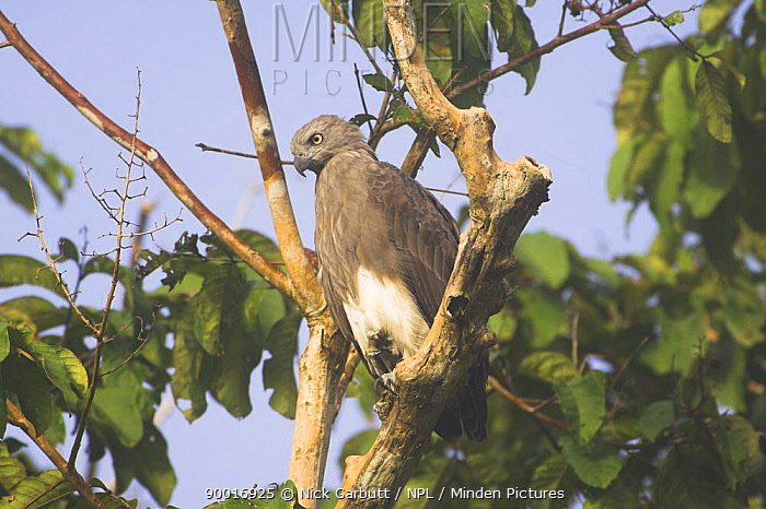 Lesser Fish Eagle (Ichthyophaga humilis) perched on branch, Kinabatangan River, Sabah, Borneo  -  Nick Garbutt/ npl