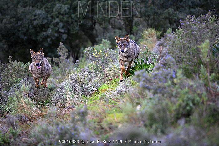 Iberian Wolf (Canis lupus signatus) running across scrubland, captive, Lobo Park, Antequera, Malaga, Spain  -  Jose B. Ruiz/ npl