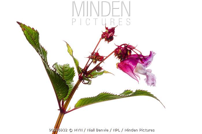 Himalayan balsam flower (Impatiens glandulifera) Scotland, UK, July  -  Niall Benvie/ npl