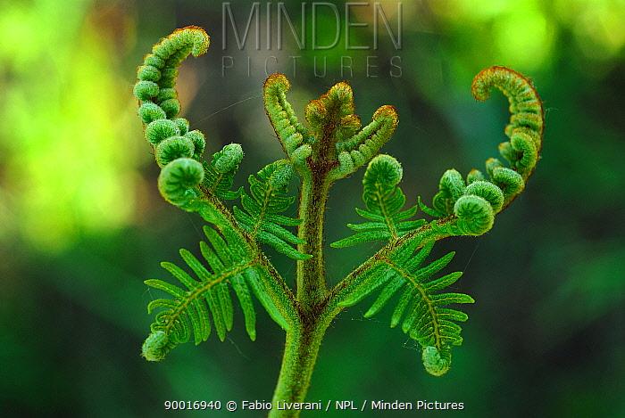 Bracken Fern (Pteridium aquilinum), Emilia Romagna Region, Italy  -  Fabio Liverani/ npl