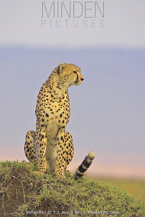 Cheetah (Acinonyx jubatus) observing from termite mound, Masai Mara Reserve, Kenya  -  T.J. Rich/ npl