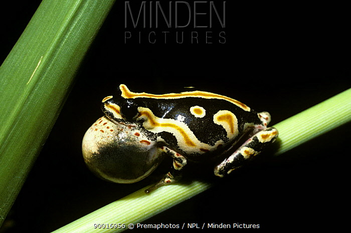 Painted Reed Frog (Hyperolius marmoratus) male with inflated throat sac, calling at night South Africa  -  Premaphotos/ npl