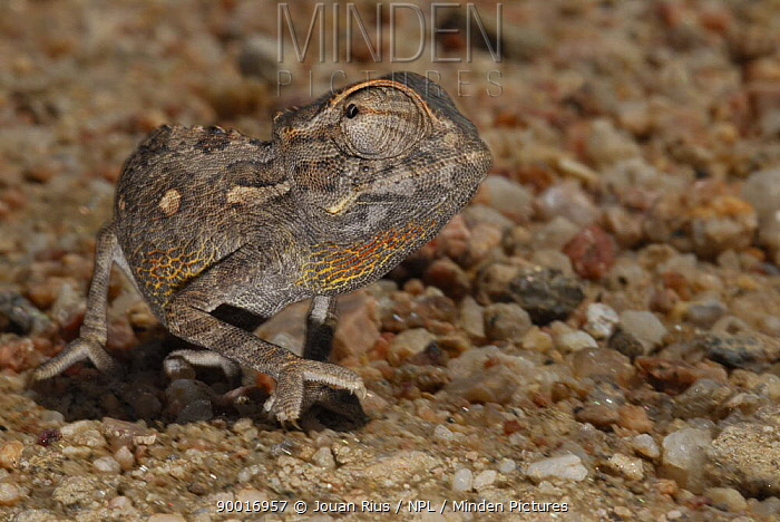 Namaqua Chameleon (Chamaeleo namaquensis), Namib desert, Namibia  -  Jouan & Rius/ npl
