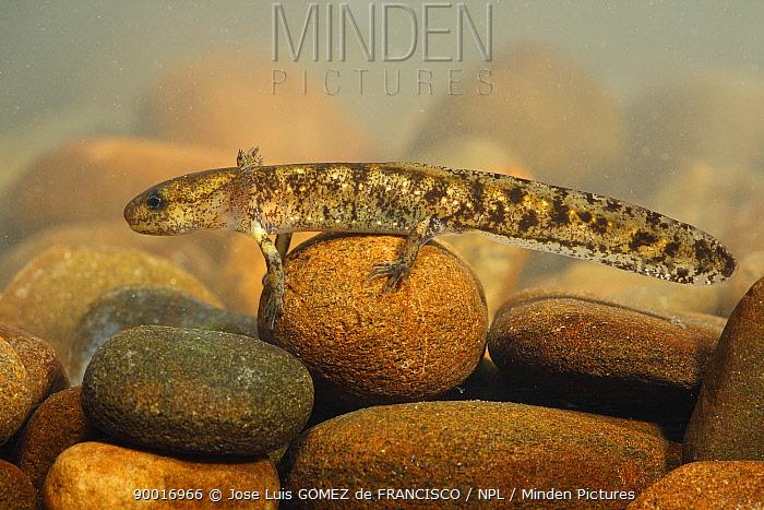 Fire Salamander (Salamandra salamandra) larva, Spain  -  Jose Luis Gomez De Francisco/ np