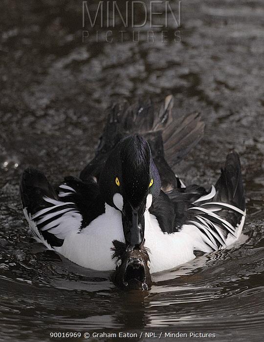 Common Goldeneye (Bucephala clangula) ducks mating, male submerging female, Lancashire, United Kingdom Photographed on land where wild and captive birds coexist  -  Graham Eaton/ npl