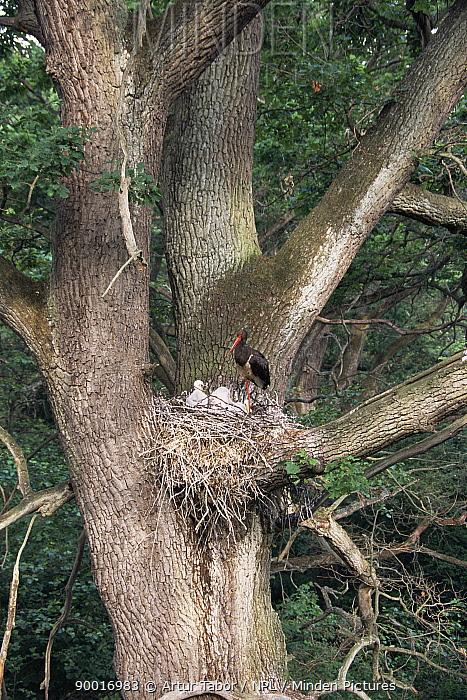 Black Stork (Ciconia nigra) adult with chicks at nest, Podlaski Park, Poland  -  Artur Tabor/ npl