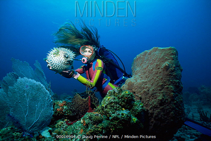 Diver with inflated Porcupine fish (Diodon hystrix) Florida, USA  -  Doug Perrine/ npl