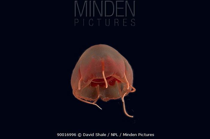 Deepsea hydromedusan jellyfish (Aeginura grimaldii), deep sea Atlantic ocean  -  David Shale/ npl