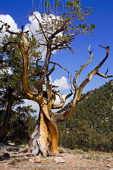 Rocky Mountains Bristlecone Pine (Pinus aristata) Inyo county, California  -  Adrian Davies/ npl