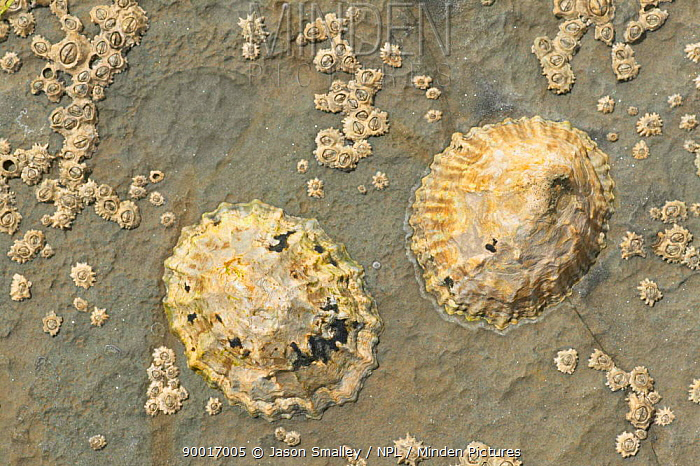 Two Limpets (Patella sp) with Barnacles on rocks at Kimmeridge Bay, Dorset, UK  -  Jason Smalley/ npl