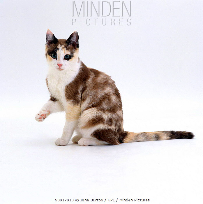 Domestic Cat (Felis catus) Chocolate-tortoiseshell 'Cookie' looking up after licking paw  -  Jane Burton/ npl