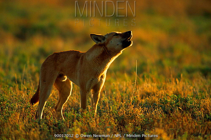 Dingo (Canis dingo) howling, Sturt NP, New South Wales, Australia  -  Owen Newman/ npl