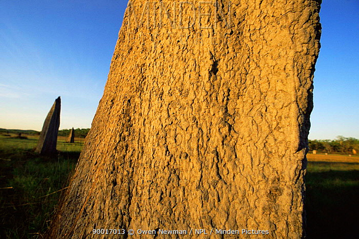 Close up of Magnetic termite mound, Litchfield NP, Northern Territory, Australia  -  Owen Newman/ npl