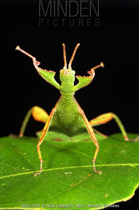 Leaf Insect (Phyllinae) female in defensive posture, Mt Kinabalu, Sabah, Borneo  -  Nick Garbutt/ npl