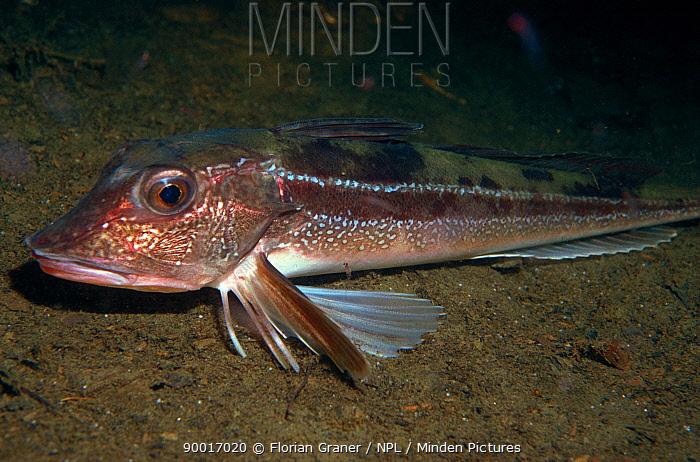 Tub Gurnard (Trigla lucerna) on sea-floor, Norway  -  Florian Graner/ npl