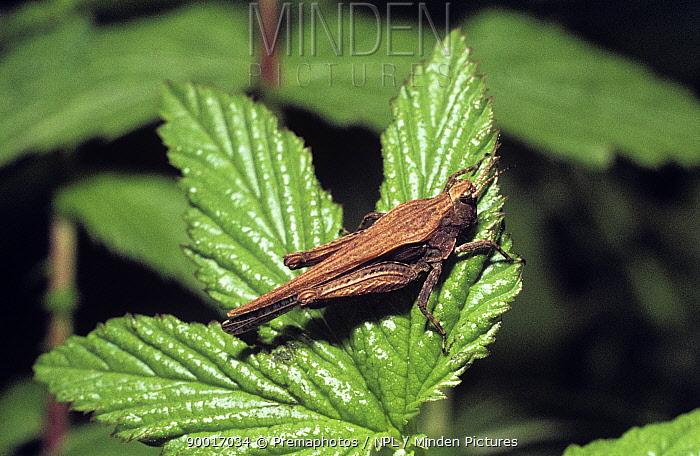 Slender groundhopper (Tetrix subulata) UK  -  Premaphotos/ npl