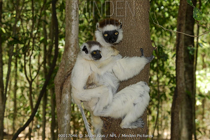 Verreaux's Sifaka (Propithecus verreauxi) female climbing tree with young on back, dry forest of Berenty reserve, South Madagascar  -  Jouan & Rius/ npl