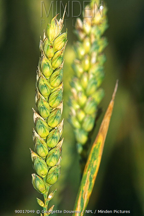Common Wheat (Triticum aestivum) seed head, United Kingdom  -  Georgette Douwma/ npl