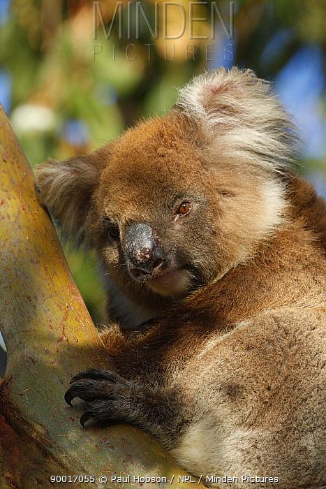 Koala (Phascolarctos cinereus) Southern type, in tree, Kangaroo Island, South Australia  -  Paul Hobson/ npl
