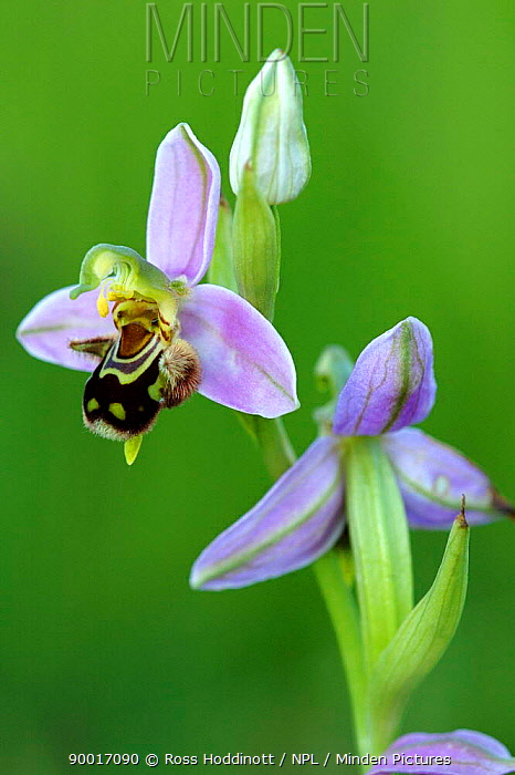 Bee Orchid (Ophrys apifera) Cornwall, United Kingdom  -  Ross Hoddinott/ npl