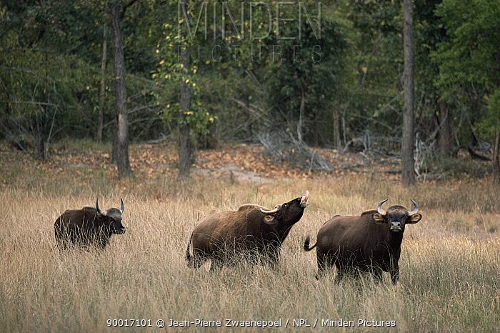 Gaur (Bos gaurus) male flehming around female endangered, Bandhavgarh National Park, Madhya Pradesh, India  -  Jean-pierre Zwaenepoel/ npl