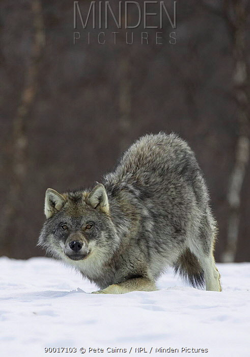 European wolf (Canis lupis) in boreal birch forest in winter, Nord-Trondelag, Norway Captive release  -  Pete Cairns/ npl