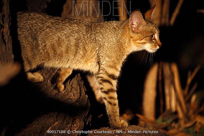 African wild cat hunting at night (Felis silvestris lybica) Okavango Delta, Botswana  -  Christophe Courteau/ npl