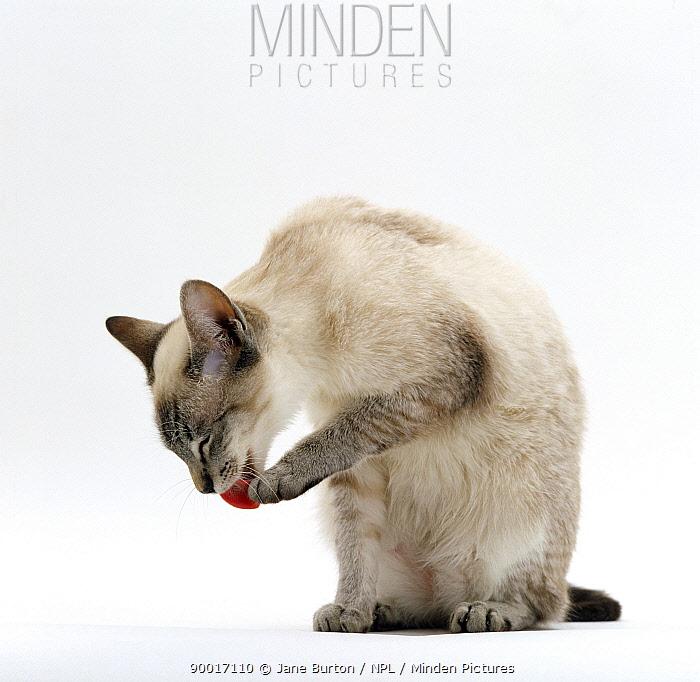 Domestic Cat (Felis catus) Siamese male 'Curly' licking paw  -  Jane Burton/ npl