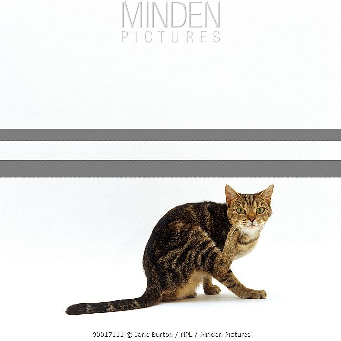 Domestic Cat (Felis catus) tabby scratching herself  -  Jane Burton/ npl