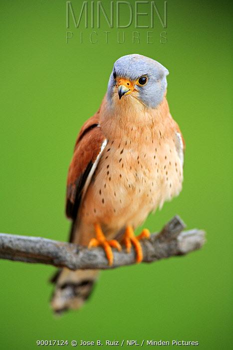 Lesser Kestrel (Falco naumanni) male perching on branch, Quintana de la Serena, Badajoz, Extremadura, Spain  -  Jose B. Ruiz/ npl