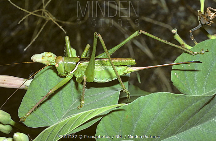 Bush-cricket, katydid (Neobarrettia vannifera) female showing her very long ovipositor, in desert, Mexico  -  Premaphotos/ npl