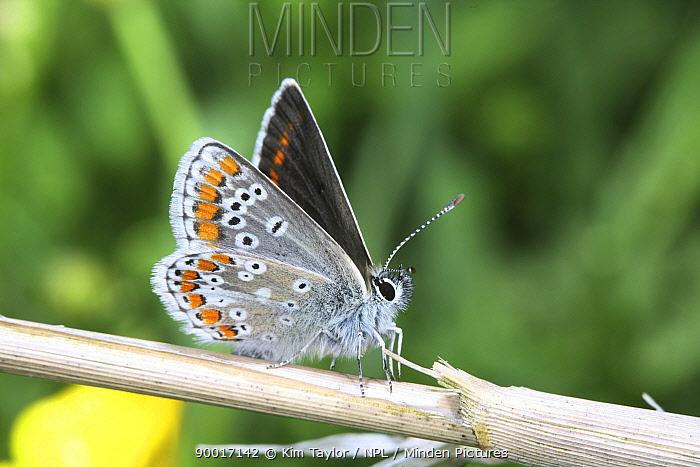 Brown Argus (Aricia agestis) Surrey, United Kingdom  -  Kim Taylor/ npl
