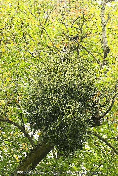Mistletoe (Viscum album) high on Common Lime tree (Tilia vulgaris), Norfolk, England, United Kingdom  -  Gary K. Smith/ npl