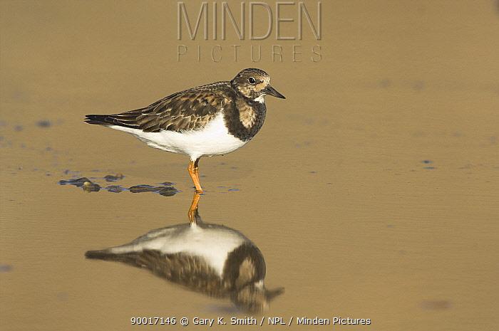Ruddy Turnstone (Arenaria interpres) in coastal pool, Norfolk, England, United Kingdom  -  Gary K. Smith/ npl